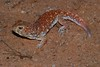 Common Barking Gecko - Photo (c) Bernard DUPONT, some rights reserved (CC BY-NC-SA)