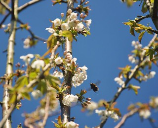 Blossoms and Bees