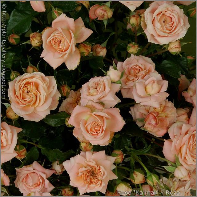 Rosa 'Kalmar' - Róża 'Kalmar'