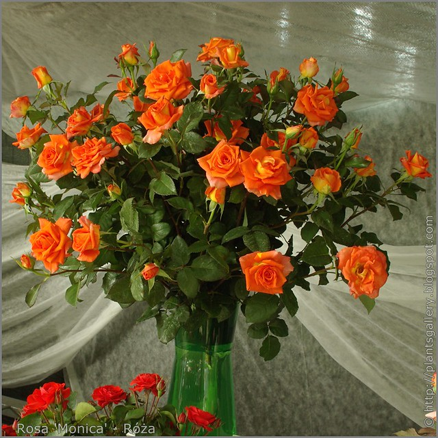 Rosa 'Monica' - Róża
