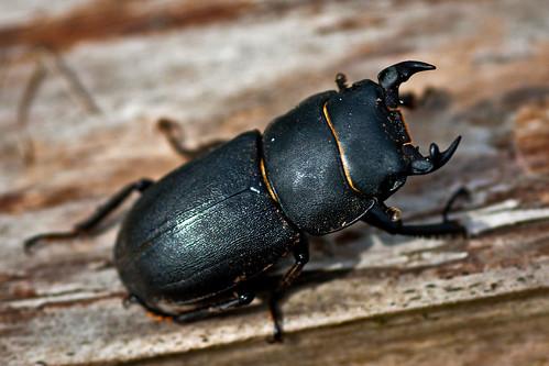 [フリー画像素材] 動物 2, 昆虫, クワガタムシ ID:201204140400