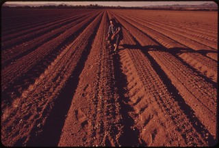 Irrigated by water from the Colorado River, newly planted cotton field near needles will produce fast results in the hot desert climate, May 1972