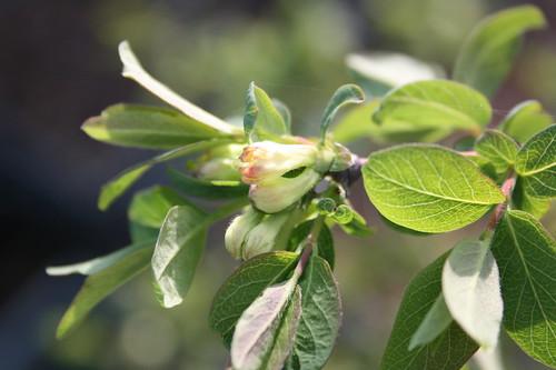 Honeyberry flowers 3