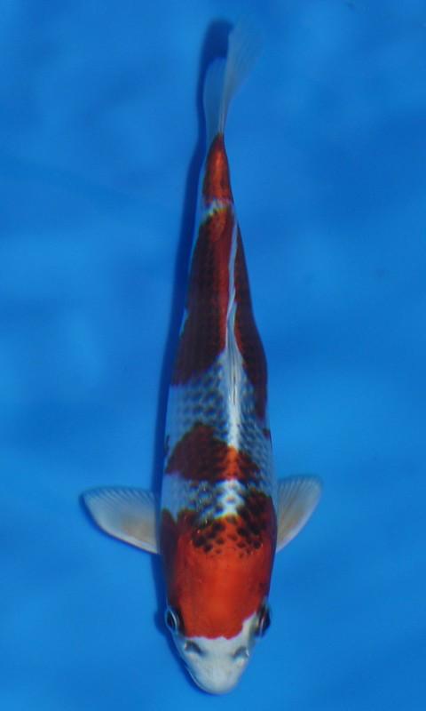 Best in variety Kujaku - LA Cool Waters