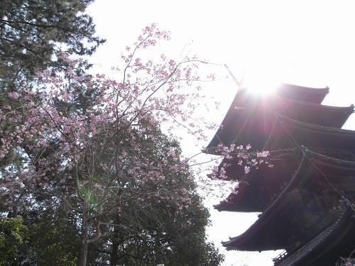 奈良公園の桜など-02