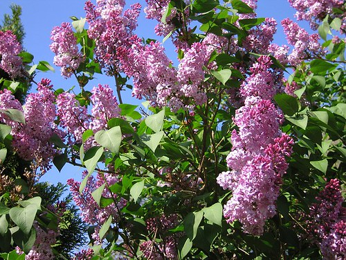 The Lilacs, Spring 2012. by Leenechan