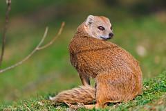 [フリー画像素材] 動物 1, 哺乳類, マングース ID:201205011000