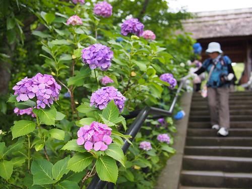 Hydrangea - Tōkei-ji
