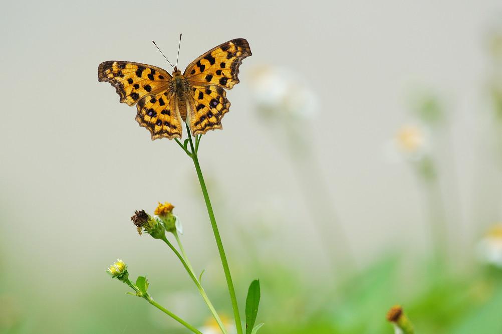 05黃蛺蝶(雌)