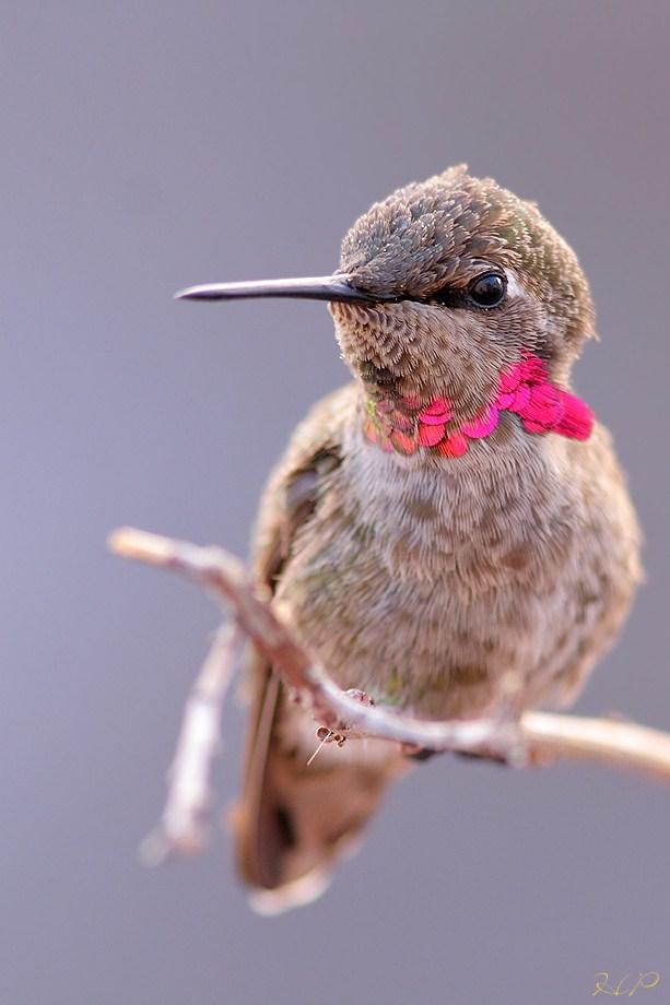 immature mele Anna's Hummingbird 070812-6