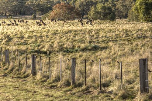 Swallows and kangaroos 2012-07-14 (_MG_0943)