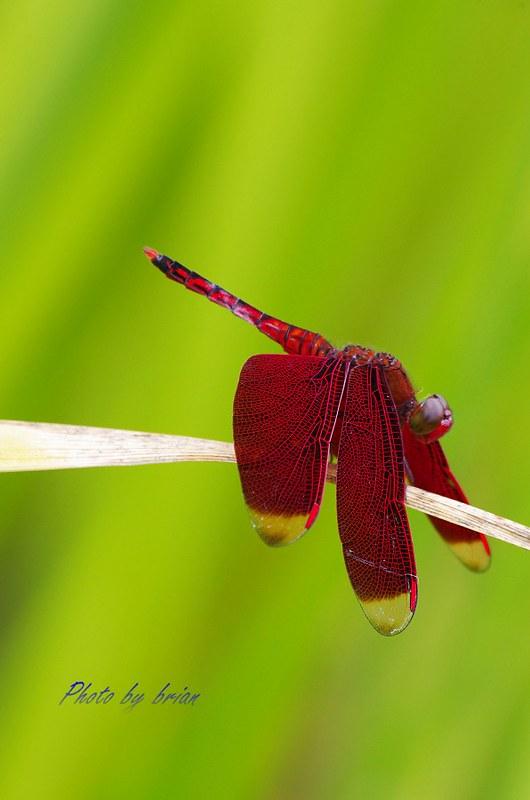 輕停(蜻蜓)