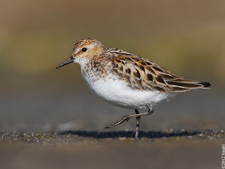 Little Stint (Veimiltíta) 2