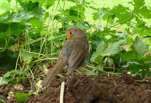 robin over shoulder