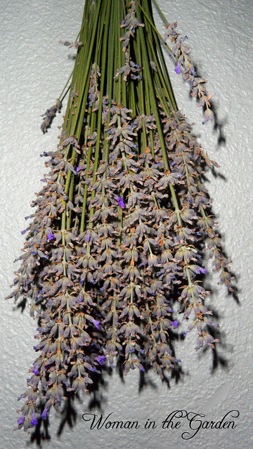 First Lavender harvest