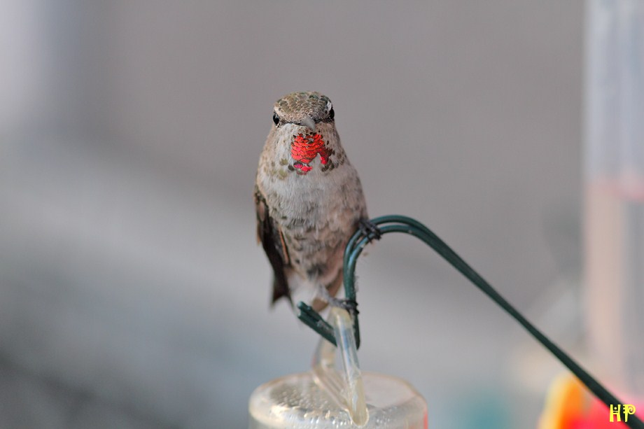 Allen's and Anna's Hybrid Hummingbird 072312