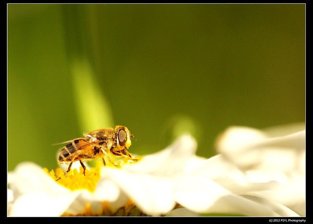 Hungry Flower Fly (Syrphidae)