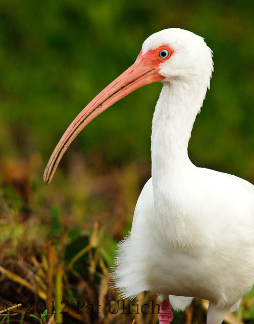 Portrait of an Ibis
