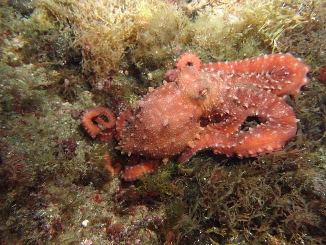 Pop (Octopus vulgaris)