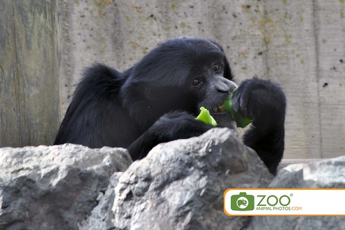 Siamang Eating