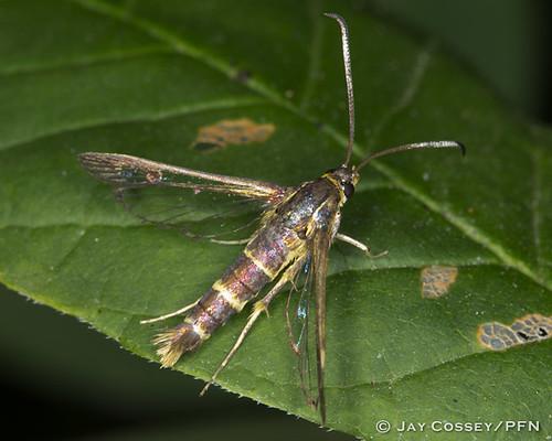 ohio moth insecta lepidopterabutterfliesmoths mohicansp photographerjaycossey sesiid