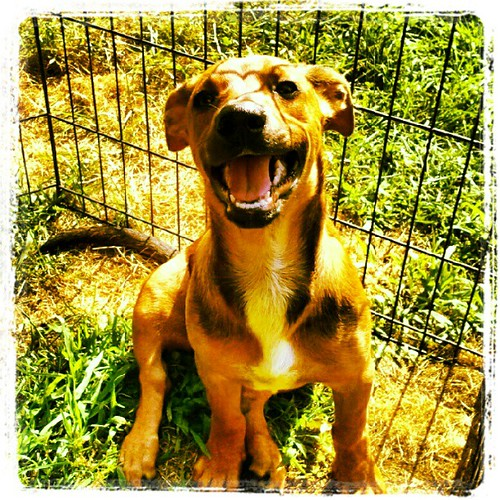 Happy Boo! #dogs #puppy #rescue #smile #happydog #adoptdontshop #foster