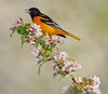 Oriole in Bloom