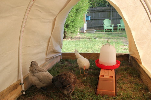 20120805. Chris built a covered wagon for the chickens. Go, Oregon Trail.