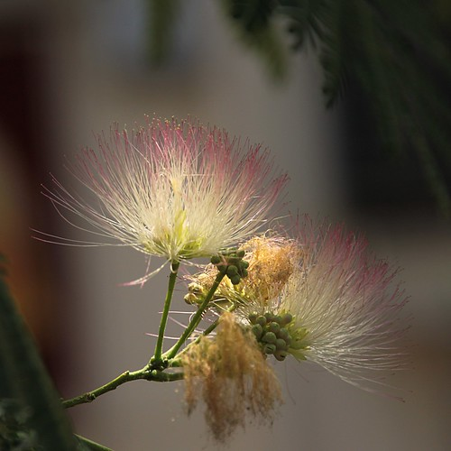 fleurs d'acacia de Constantinople per Olivier Bacquet a Flickr
