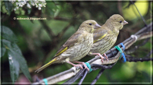 Juvenile Greenfinches