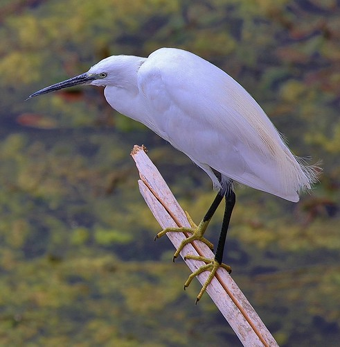 Little Egret Florence Italy by Kinzler Pegwell