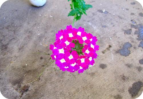 bright pink verbena bloom