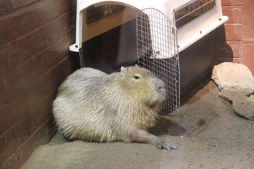 Humongous rodent