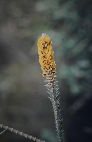Aotus passerinoides