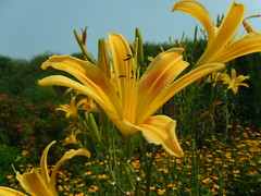 Lilies Above