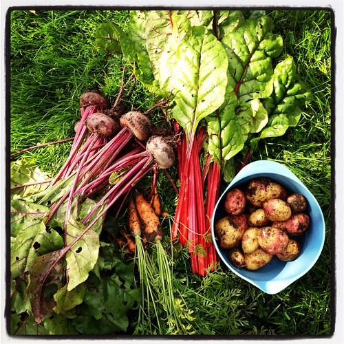Nyskördade rödbetor, morötter, röd mangold och potatis