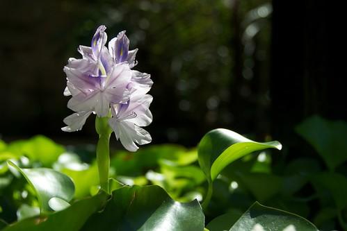 Water Flower