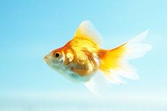 [フリー画像素材] 動物, 魚類, 金魚・キンギョ ID:201211070400
