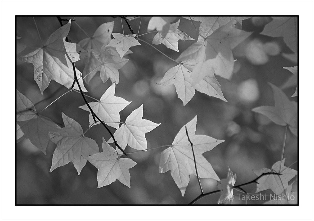 黄金色のカエデ / Golden maple leaves