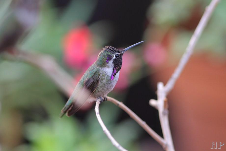 Costa's X Anna's Hummingbird 102212-2