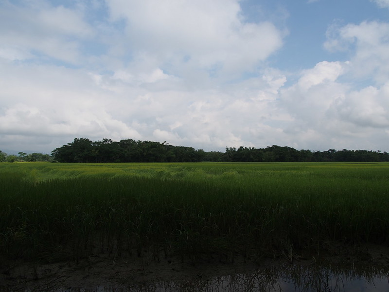 Rice Field in Sylhet, Bangladesh