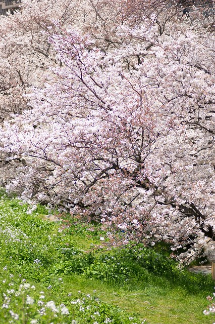 二十一世紀桜
