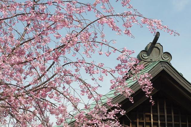 東京路地裏散歩 新井薬師前の桜 2014年4月5日