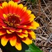 red and yellow zinnia flower