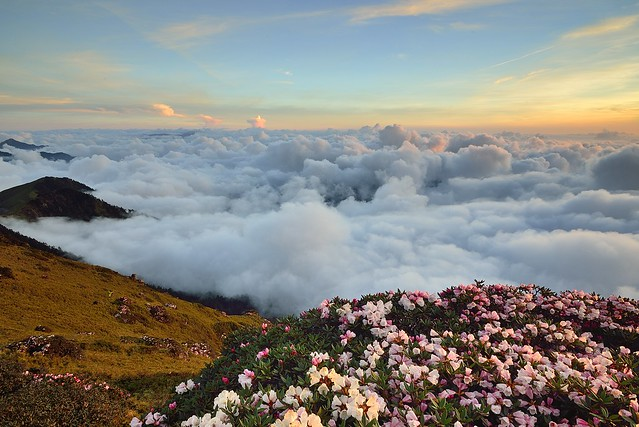 Alpine flowers above clouds 雲端之花, 合歡山