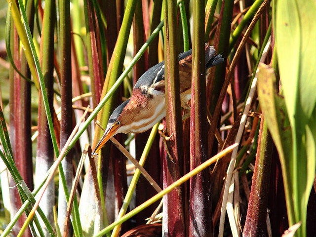 Least Bittern with fish 20120318