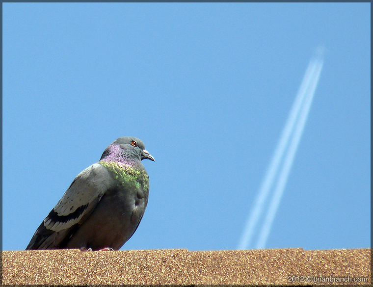 P1250052_pigeon