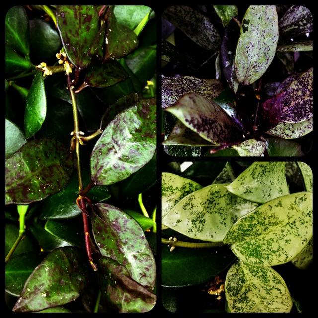 Hoya lacunosa cultivars