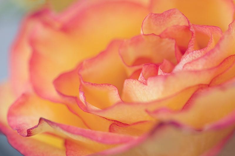 20120502_Roses_0006_web