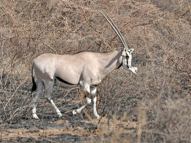 Beisa Oryx (Oryx beisa) Ethiopia